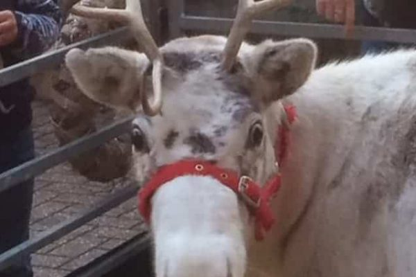Snowflake the Reindeer